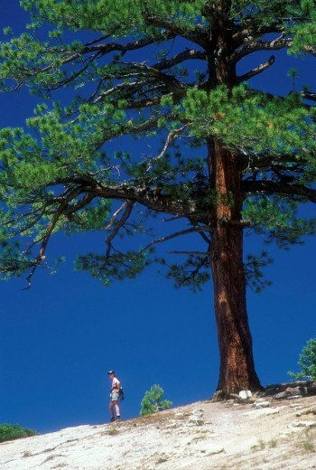 Stock Photo: 1566-485745 CA549J Jeffrey pine on trail on ridge above North Dome, Yosemite National Park, CA