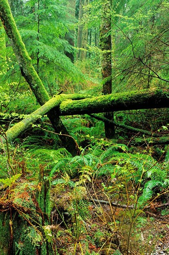 coastal temperat rainforest beside Baden-Powell Trail, North Vancouver, British Columbia, Canada : Stock Photo