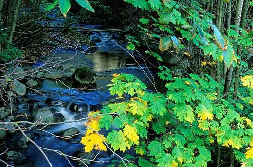 broadleaf maple Acer macrophyllium in autumn, Capilano River, British Columbia, Canada : Stock Photo