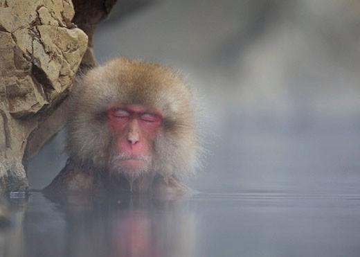 Stock Photo: 1566-487809 Japanese Macaque Macaca fuscata, relaxing inside the thermal springs, Jigokudani Yaen-Koen, Nagano Prefecture, Japan