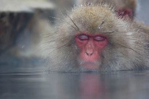 Sleepy Japanese Macaque Macaca fuscata, Jigokudani Yaen-Koen, Nagano Prefecture Japan : Stock Photo
