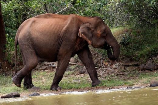 Asian Elephant. BRT Wildlife Sanctuary, Karnataka, India : Stock Photo