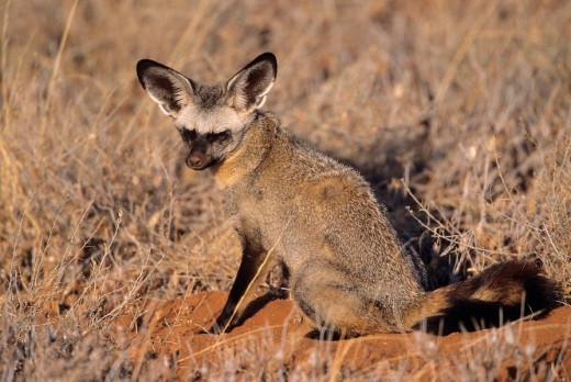 Bat-eared Foxes Otocyon megalotis at den : Stock Photo