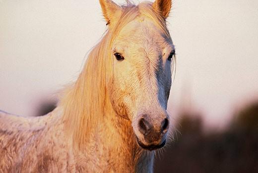 Camargue horse Equus caballus : Stock Photo