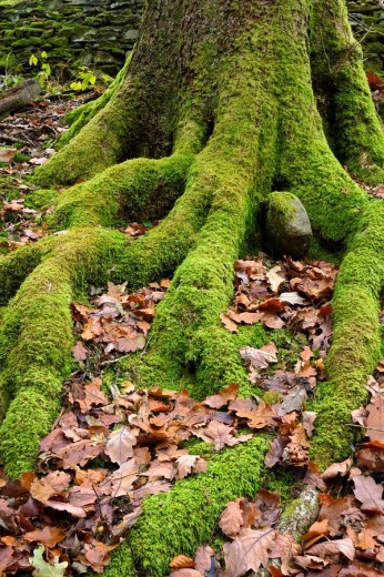 Tree roots covered in moss with golden oak leaves on the ground : Stock Photo
