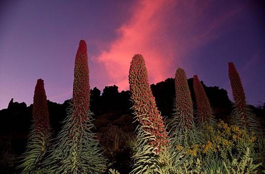 Red Tajinaste (Echium wildpretii). Teide National Park. Tenerife. Canary Islands. Spain : Stock Photo