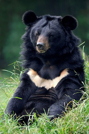 Portrait of Asiatic black bear (Ursus thibetanus) at the Chengdu rescue center of the Animal Asia Foundation, Sichuan, China : Stock Photo