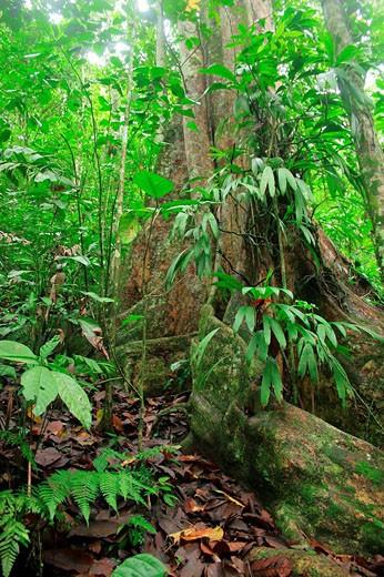 Arbol de Gyranthera caribensis Pittier, Parque Nacional Henri Pittier, Venezuela : Stock Photo