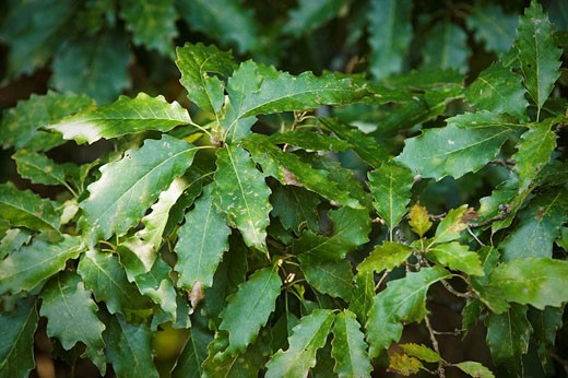 Stock Photo: 1566-494301 0717659 Chinquapin Oak foliage Quercus muehlenbergii Pontotoc Ridge Preserve, OK