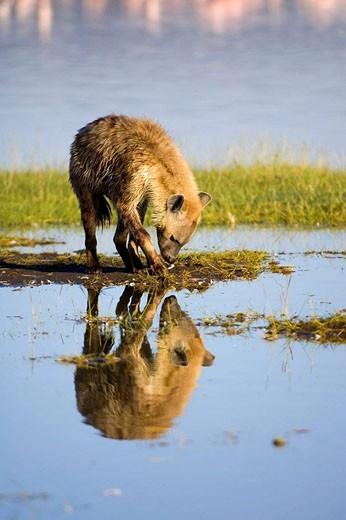 Stock Photo: 1566-495029 Spotted hyena or laughing Hyena reflecting in the water,  Crocuta crocuta, Nakuru National Park, Kenya, East Africa