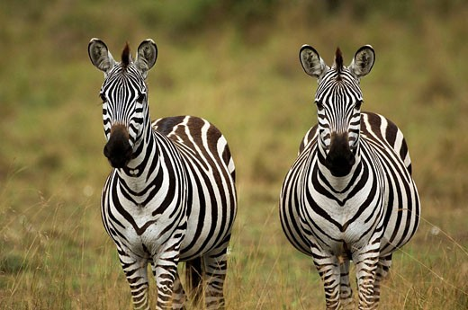 Stock Photo: 1566-495035 Two Burchell's Zebras or Plains Zebras; Equus burchellii, Masai Mara National Park, Kenya, East Africa