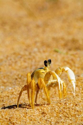 Beach crab, caranguejo Maria-farinha Ocypode sp : Ocypodidae , Praia do Jucu, Vila Velha, Espiríto Santo, Brazil : Stock Photo