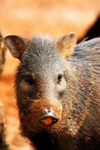 Cateto retrato, caititu , porco do mato, Tayassu tajacu, Artiodactyla: Tayassuidae, Rio Branco, Parque ambiental Chico Mendes, Acre, AC, 2008 : Stock Photo