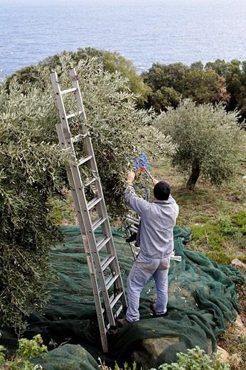 Holy Monastery of Great Lavra,Megiste Lavra,olive harvest,Athos Peninsula,Mount Athos,Chalkidiki,Greece : Stock Photo
