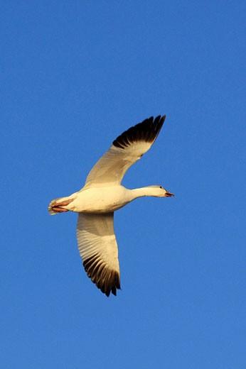 Stock Photo: 1566-495945 Snow goose, Anser caerulescens, Schneegans, one in flight, blue sky, winter quarters, Bosque del Apache National Wildlife Refuge, New Mexico, USA