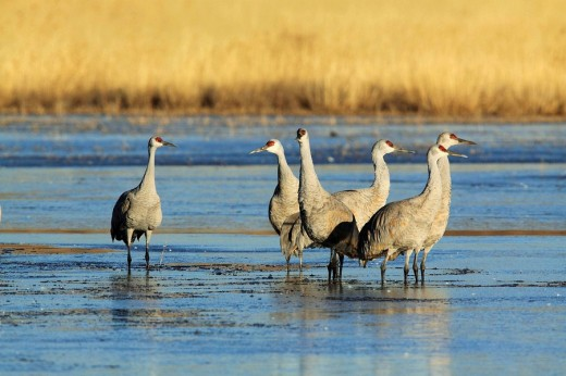 Stock Photo: 1566-495961 Sandhill crane, Grus canadensis, Kanadakranich, group wading through water, winter quarters, Bosque del Apache National Wildlife Refuge, New Mexico, USA