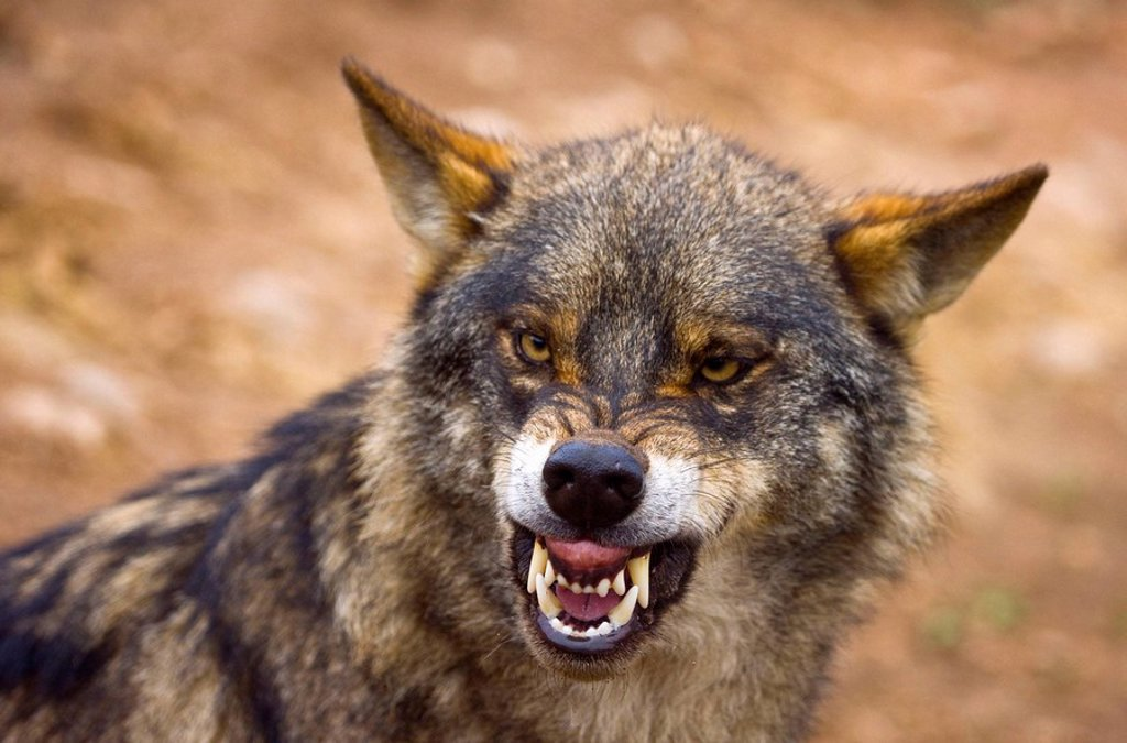 Stock Photo: 1566-496566 Iberian Wolf (Canis lupus)