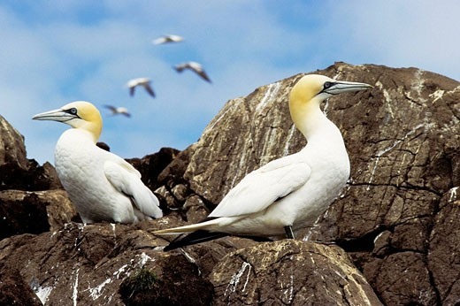 Stock Photo: 1566-497490 Gannets Sula bassana in breeding season on Bass Rock - North Berwick/Scotland