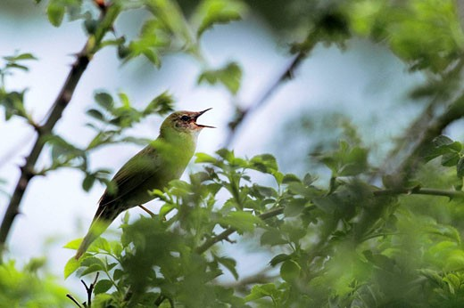 Stock Photo: 1566-497491 Grasshopper Warbler Locustella naevia singing on brier wood - Bavaria / Germany