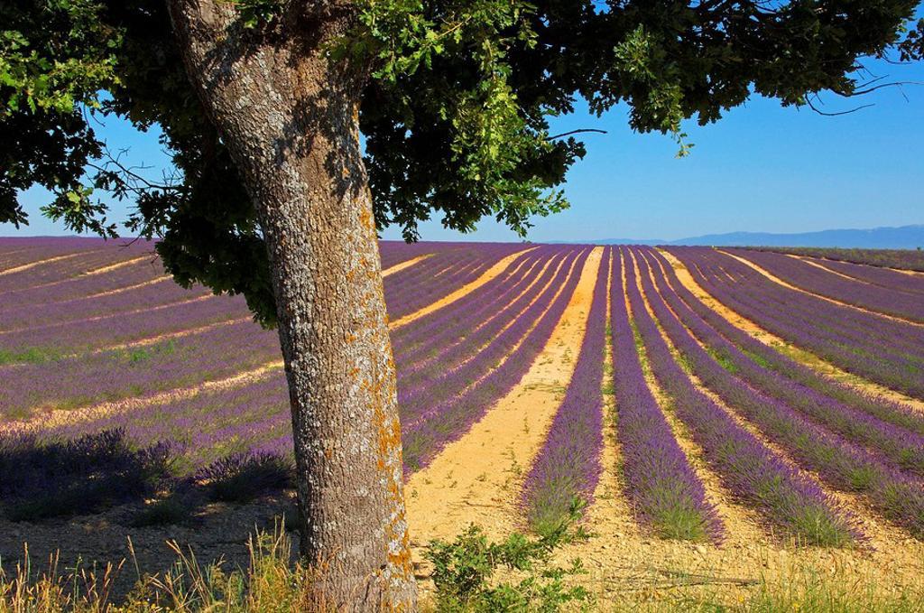 Lavender field at Valensole plateau. Alpes-de-Haute-Provence, France : Stock Photo