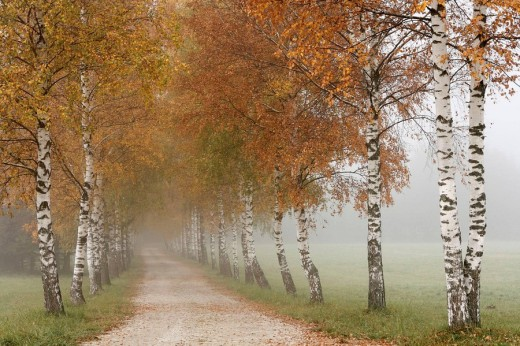Stock Photo: 1566-498560 birch alley in Tragöß, Styra, Austria