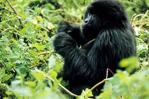 Stock Photo: 1566-499900 Mountain Gorilla, Gorilla gorilla beringei,