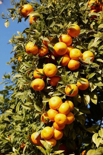 Oranges. Valencia, Comunidad Valenciana, Spain : Stock Photo