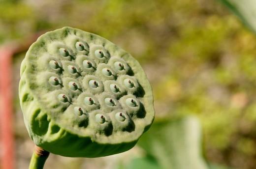 Sacred Lotus (Nelumbo nucifera) seed cup : Stock Photo
