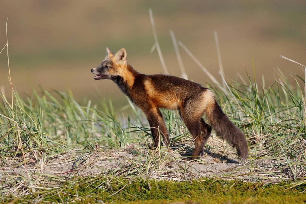 Red Fox (Vulpes vulpes), young during dark phase. Seward Peninsula, Alaska, USA : Stock Photo
