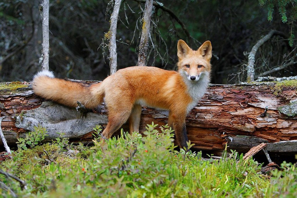 Stock Photo: 1566-509164 Red Fox (Vulpes vulpes), young