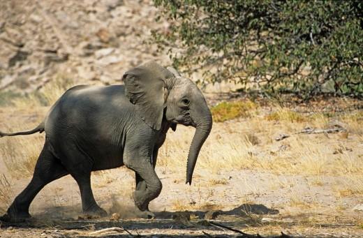 Desert Elephants from Namibia : Stock Photo