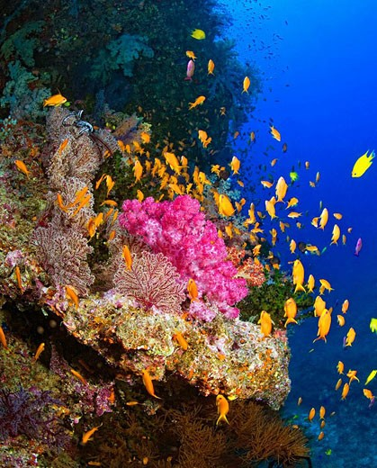 Stock Photo: 1566-511088 Colorful soft corals and fish on undersea wall, South Pacific , Fiji