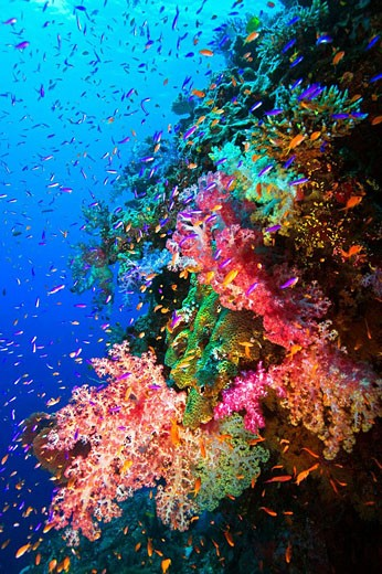 Colorful soft corals and fish on undersea wall, South Pacific , Fiji : Stock Photo