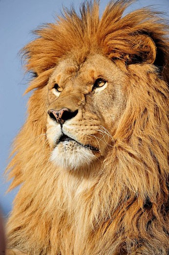 Barbary lion Panthera leo, extinct in wild- captive : Stock Photo