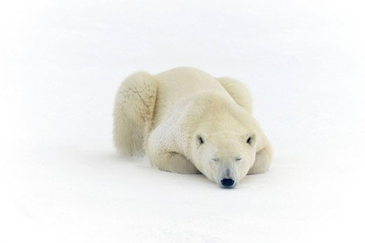 Stock Photo: 1566-511691 Polar bear Ursus maritimus Resting in snow along Hudson Bay coastline