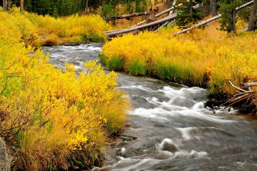 Stock Photo: 1566-511779 Willows in autumn colour lining the banks of the Gibbon River