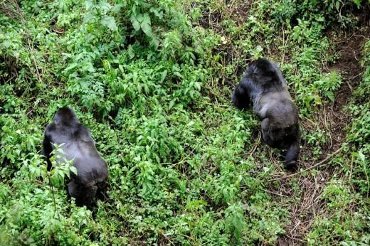 Male silverback mountain gorillas (Gorilla beringei beringei) Volcanoes National Park, Rwanda, Africa : Stock Photo