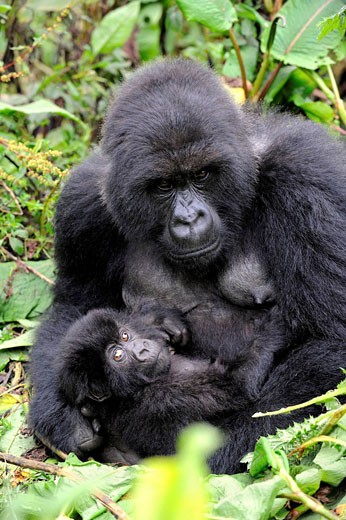Female mountain gorilla with her baby (Gorilla beringei beringei) Volcanoes National Park, Rwanda, Africa : Stock Photo