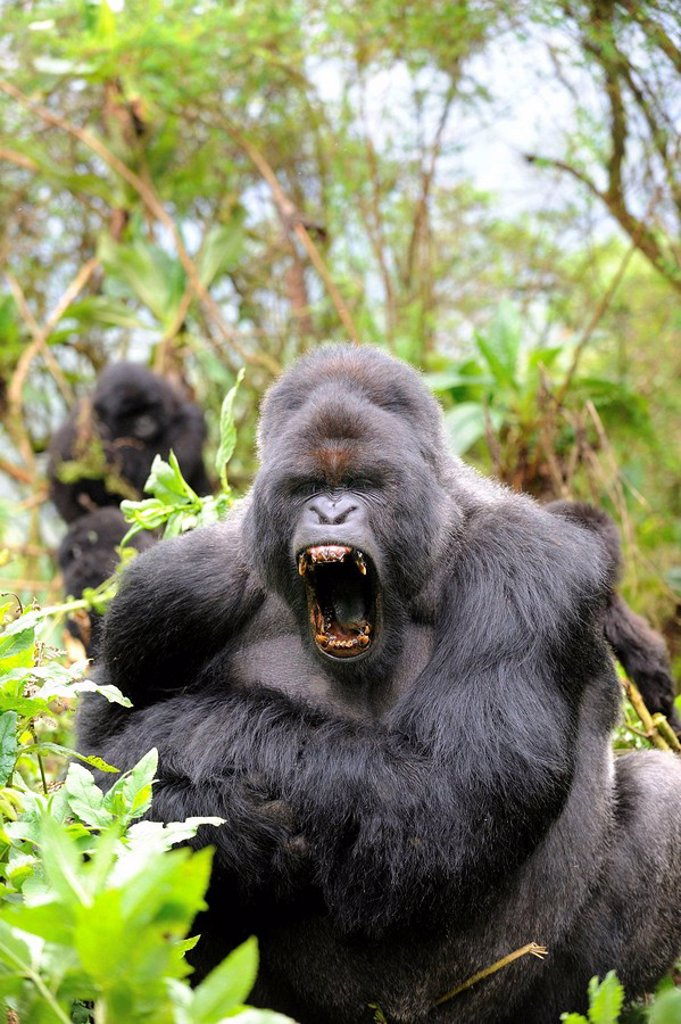 Male silverback mountain gorilla yawning (Gorilla beringei ...