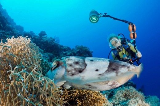 Stock Photo: 1566-514295 Diver watch Broadclub Cuttlefish laying Eggs, Sepia latimanus, Micronesia, Palau
