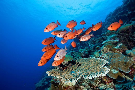 Group of Red Crescent-tail Bigeye, Priacanthus hamrur, Blue Corner, Micronesia, Palau : Stock Photo