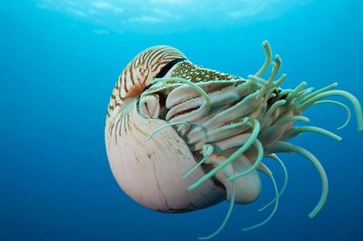 Stock Photo: 1566-514434 Chambered Nautilus, Nautilus belauensis, Micronesia, Palau