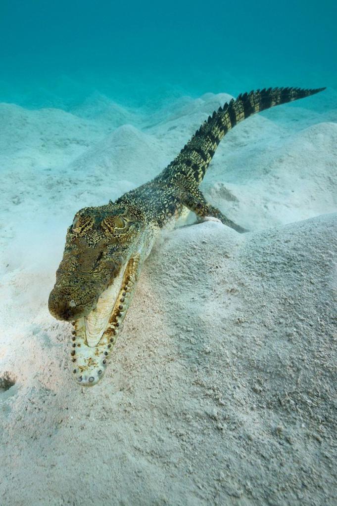 Saltwater Crocodile, Crocodylus porosus, Micronesia, Palau : Stock Photo
