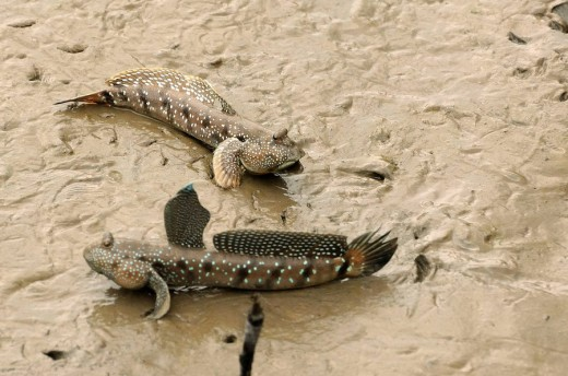 Stock Photo: 1566-515034 Mudskippers in fight