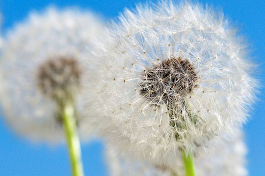 Detailed View of Dandelion Seed With Blue Sky : Stock Photo