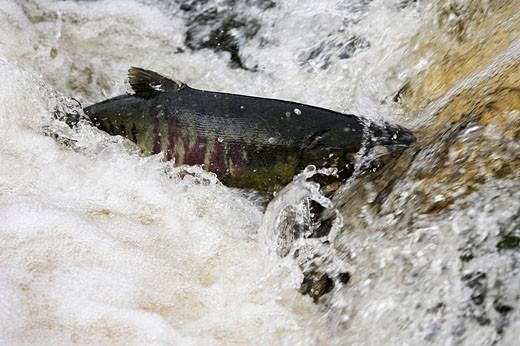 Ketalachs / Chum Salmon / Hundslachs / Dog Salmon / Oncorhynchus keta / Alaska, USA : Stock Photo