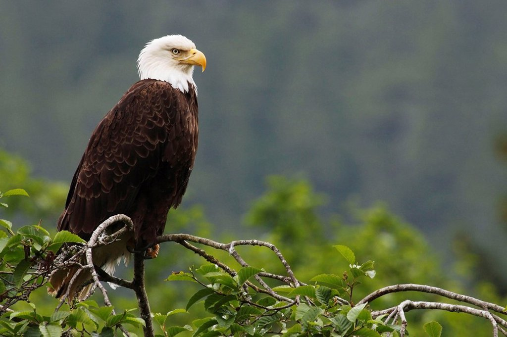 Stock Photo: 1566-515527 Weißkopfseeadler / Bald Eagle / Haliaeetus leucocephalus