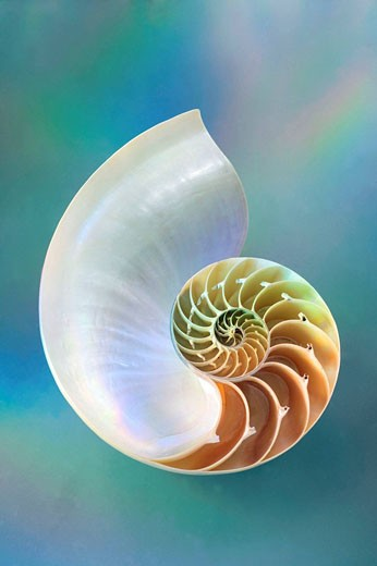 Nautilus sea shell : Stock Photo