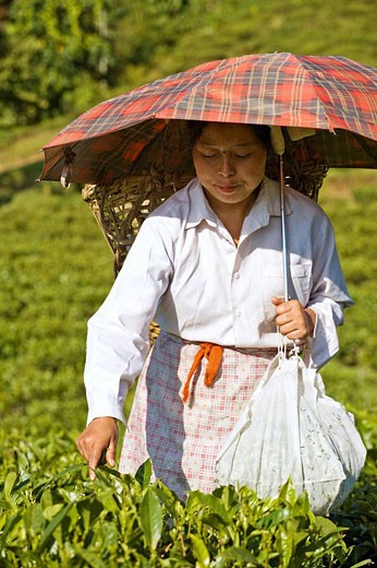 Stock Photo: 1566-516434 India,West Bengal,  Darjeeling, Happy Valley Tea Estate, Woman tea picking