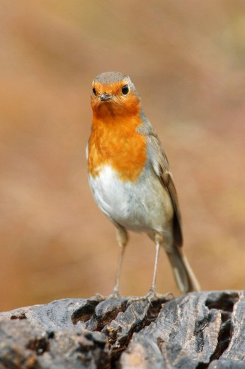 Stock Photo: 1566-520444 European Robin (Erithacus rubecula). Sevilla province, Andalucia, Spain